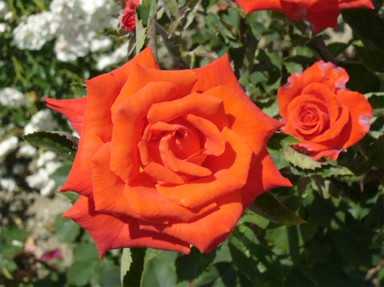 Image - A rose (the Nikita Botanical Garden near Yalta in the Crimea).