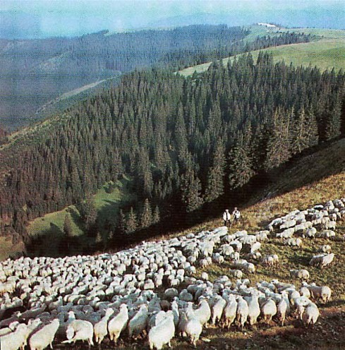 Image - Sheep herding in Carpathian Mountains (Transcarpathia oblast).