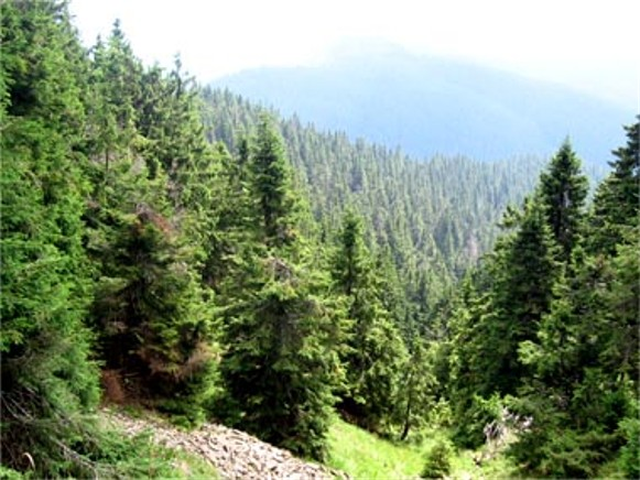Image - A spruce forest in the Carpathian Mountains.