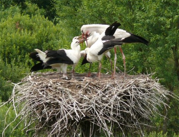 Image - White storks (in Volhynia).