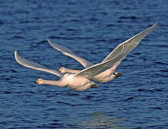 Image - Whooper swans