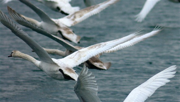 Image - Mute swans