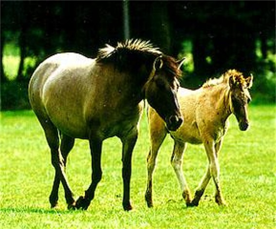 Image -- Tarpan wild horses (rederived by selection).