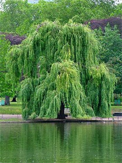 Image - A weeping willow tree