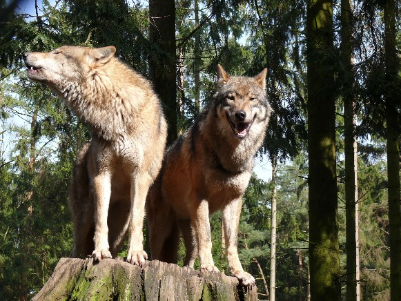 Image - Wolves