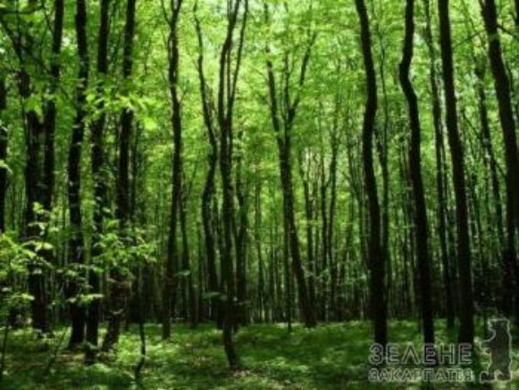 Image - Beech forest in the Zacharovanyi Krai National Nature Park.