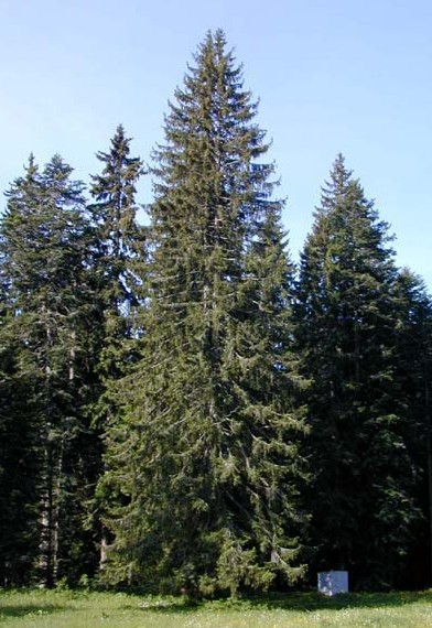 Spruce for Pine tree timber